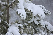 Photos With Red Metal Prints - Snowy Boughs Metal Print by Penny Meyers