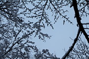 Evansville Metal Prints - Snowy Branches Metal Print by Andrea Kappler