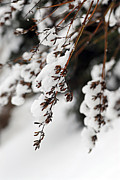 Winter Framed Prints - Snowy branches Framed Print by Elena Elisseeva