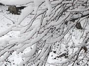 Donna Dixon - Snowy Branches
