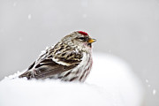 Small Birds Framed Prints - Snowy Common Redpoll Framed Print by Christina Rollo