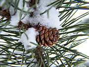 Pine Needles Photo Originals - Snowy Cone Closeup by Gene Cyr