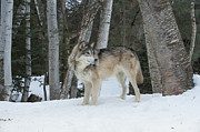 Timber Wolf Photos - Snowy Day Trek by Sandra Bronstein