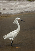 South Padre Island Texas Posters - Snowy Egret at South Padre Poster by Betty Depee
