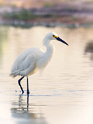 Snowy Egret Framed Prints - Snowy Egret at Sunrise  Framed Print by Saija  Lehtonen