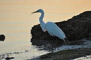 Snowy Egret Framed Prints - Snowy Egret Framed Print by Bill Cannon