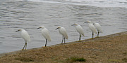 Animals Pyrography - Snowy Egret Breakfast club by Bob and Jan Shriner