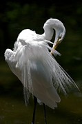 Snowy Egret Framed Prints - Snowy Egret Framed Print by Chris Brewington 