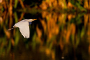 Snowy Egret Climbing Up To The Sky Print by Andres Leon