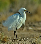 Sonny Bono Prints - Snowy Egret Displaying Print by Sara Edens