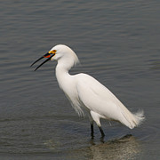 Bob and Jan Shriner - Snowy Egret Feeding