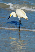 Sheila Price - Snowy Egret Fishing