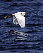 Alan Raasch - Snowy Egret Flight