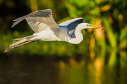 Wing Mirror Photos - Snowy Egret Flying with a Branch by Andres Leon