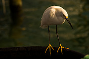 Snowy Night Metal Prints - Snowy Egret II Metal Print by Rene Triay Photography