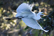 David Lunde - Snowy Egret in Flight
