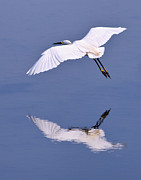 Robert Jensen Posters - Snowy Egret in Flight Poster by Robert Jensen