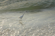Fish Print Prints - Snowy Egret In Surf Print by Steven Ainsworth