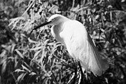 Swampland Metal Prints - Snowy Egret In Swampland Orlando Florida Usa Metal Print by Joe Fox