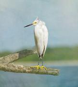 Snow Board Framed Prints - Snowy Egret Framed Print by Kim Hojnacki