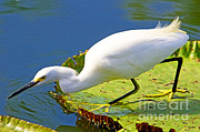White Crane Prints - Snowy Egret Print by Millard H. Sharp