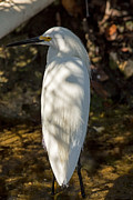 Natural Focal Point Photography - Snowy Egret