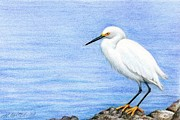 Ocean Shore Drawings Prints - Snowy Egret on Rocks Print by Heather Mitchell