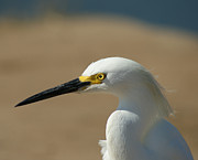 Ocean Birds Prints - Snowy Egret Profile Print by Ernie Echols