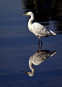 Snowy Egret Framed Prints - Snowy Egret Reflection  Framed Print by Saija  Lehtonen