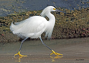 Stephen  Johnson - Snowy Egret Strutting