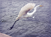 Diana Haronis Posters - Snowy Egret Taking Off Poster by Diana Haronis