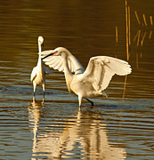 Wade Fishing Metal Prints - Snowy Egret Wingspan Metal Print by Robert Frederick