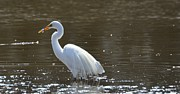 Snowy Egret Photos - Snowy Egret with fish by Robert Smice