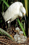 Baby Bird Prints - Snowy Egrets Print by Millard H. Sharp