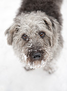 Winter Prints Digital Art Prints - Snowy Faced Pup Print by Natalie Kinnear