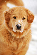 Snowy Holiday Card Posters - Snowy Golden Retriever Poster by Christina Rollo