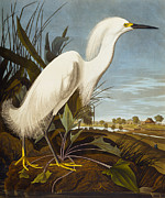 Heron Prints - Snowy Heron Or White Egret Print by John James Audubon