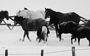 Quarter Horses Posters - Snowy Hooves BW Poster by MistyAnn Brewer
