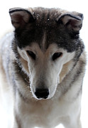 Husky Photo Framed Prints - Snowy Husky Nanuk Framed Print by Marjorie Imbeau