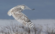 Bird Of Prey Art Prints - Snowy in action Print by Mircea Costina Photography