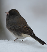 Richard Bryce - Snowy Junco