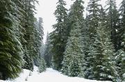 Snowy Mount Hood Forest Print by Charmian Vistaunet