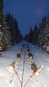 Husky Prints - Snowy Night in the Pines Print by Karen  Ramstead
