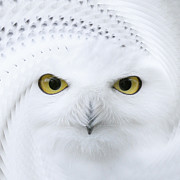 Cute Pyrography Prints - Snowy Owl - Bubo scandiacus Print by Karl Wilson
