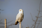 Ed Nicholles Acrylic Prints - Snowy Owl 8 Feb 2013 Acrylic Print by Ed Nicholles
