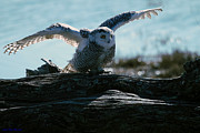 Ed Nicholles Acrylic Prints - Snowy Owl April 3 2012 Acrylic Print by Ed Nicholles