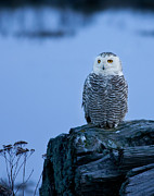 Snowy Evening Posters - Snowy Owl at Twilight Poster by Lois Farrington