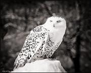 LeeAnn McLaneGoetz McLaneGoetzStudioLLCcom - Snowy Owl Cold Stare Black and white