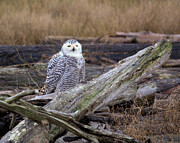 David Brown - Snowy Owl