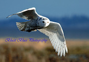 Ed Nicholles Acrylic Prints - Snowy Owl Dec 4 2012 a Acrylic Print by Ed Nicholles